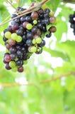 红葡萄和绿色葡萄 免版税库存照片