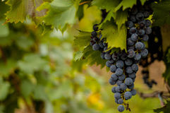 红葡萄在一个晴朗的葡萄园里 免版税库存图片