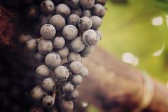 红葡萄在有boke的葡萄园里 库存图片