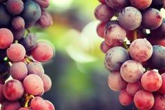 红葡萄在有boke的葡萄园里 免版税库存图片
