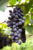 红葡萄在泰国。 免版税库存照片