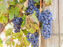 红葡萄在葡萄园里在Franschhoek,南非 库存图片