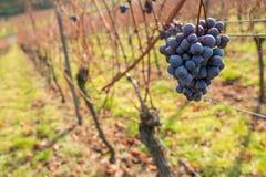 红葡萄在11月在晴朗的葡萄园里 库存照片