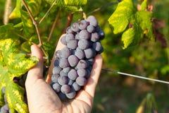 红葡萄束。 库存图片
