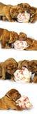 红葡萄酒与伟大的骨头的大型猛犬小狗 免版税库存图片