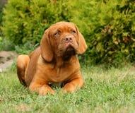 红葡萄酒大型猛犬小狗 库存图片
