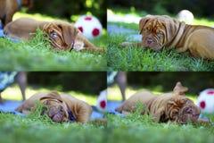 红葡萄酒大型猛犬小狗 免版税库存照片