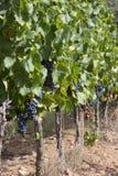 红葡萄酒的成熟葡萄树在谷 库存图片