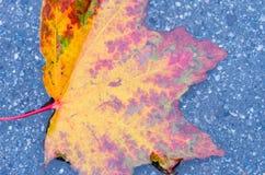 红葡萄酒秋天叶子 一片明亮的秋天叶子 加拿大槭树 湿的叶子 免版税库存照片