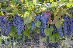 红葡萄酒葡萄字符串 免版税库存照片