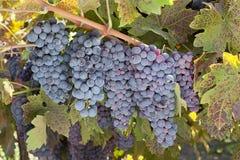 红葡萄酒葡萄字符串 库存照片