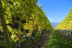红葡萄酒葡萄 免版税库存照片