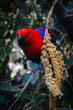 红蓝色鹦鹉 库存照片