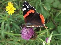 红蛱蝶哺养 免版税图库摄影