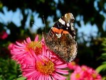 红蛱蝶在庭院里 库存照片