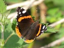 红蛱蝶蝴蝶在森林叶子的Vanessa atalanta 库存图片