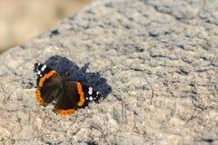 红蛱蝶,Vanessa atalanta,红色令人敬佩在石头 五颜六色batterfly在石头 复制空间 被设色的背景秀丽蓝色概念容器装饰性的深度详细资料域充分的仿效宏观自然超出珍珠浅天空 库存照片