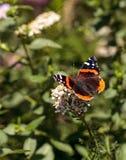 红蛱蝶蝴蝶, Vanessa atalanta,在蝴蝶庭院里 免版税库存图片