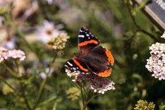 红蛱蝶蝴蝶, Vanessa atalanta,在蝴蝶庭院里 库存图片