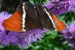红蛱蝶蝴蝶 库存图片