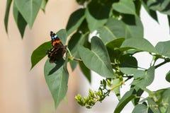 红蛱蝶 免版税库存照片