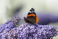 红蛱蝶 免版税库存图片