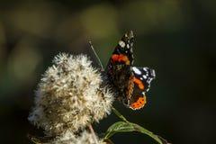 红蛱蝶 免版税图库摄影