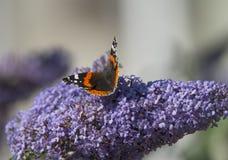 红蛱蝶 库存图片