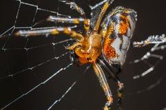 红蜘蛛 免版税图库摄影
