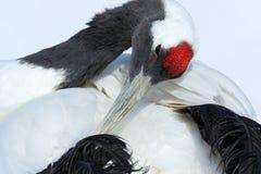 红被加冠的起重机、粗碎屑japonensis、顶头画象与白色和后面全身羽毛,冬天场面,北海道,日本 库存照片
