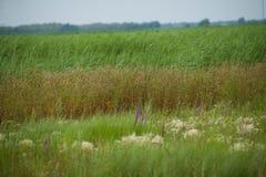 红被加冠的起重机沼泽地自然保护查龙 库存照片