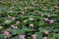 红被加冠的起重机自然保护查龙沼泽地池塘 免版税图库摄影