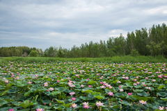 红被加冠的起重机自然保护查龙沼泽地池塘 库存图片