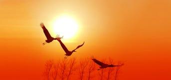 红被加冠的起重机飞行在日落背景中 库存图片