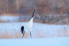 红被加冠的起重机,粗碎屑japonensis,与雪风暴的走的白色,冬天场面,北海道,日本 在自然hab的美丽的鸟 免版税库存照片