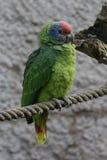 红被盯梢的亚马逊-亚马逊brasiliensis 库存图片
