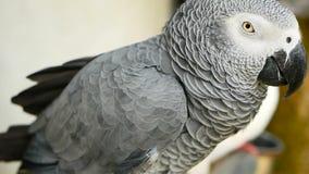 红被盯梢的单配的非洲人刚果灰色鹦鹉 伴侣Jaco是普遍的鸟宠物当地人对赤道区域 股票视频