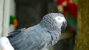 红被盯梢的单配的非洲人刚果灰色鹦鹉 伴侣Jaco是普遍的鸟宠物当地人对赤道区域 影视素材