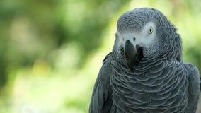 红被盯梢的单配的非洲人刚果灰色鹦鹉 伴侣Jaco是普遍的鸟宠物当地人对赤道区域 股票录像