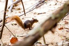 红被盯梢的灰鼠/哥斯达黎加/Cahuita 库存图片