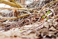 红被盯梢的灰鼠/哥斯达黎加/Cahuita 库存照片