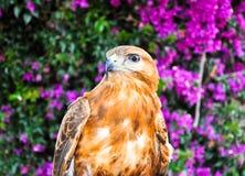 红被盯梢的鹰。 图库摄影