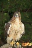 红被盯梢的鹰在森林里 免版税库存图片