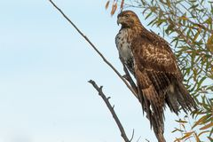 红被盯梢的鹰显示全身湿透的翼 库存图片