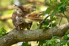 红被盯梢的鹰自夸 免版税库存照片