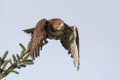 红被盯梢的鹰鵟鸟jamaicensis离开 免版税库存照片
