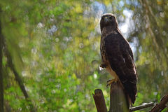 红被盯梢的鹰鸷 库存照片