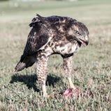红被盯梢的鹰,鵟鸟jamaicensis,青少年,吃吃灰鼠的灰鼠 免版税库存照片