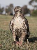红被盯梢的鹰,鵟鸟jamaicensis,青少年,吃吃灰鼠的灰鼠 图库摄影