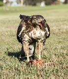 红被盯梢的鹰,鵟鸟jamaicensis,青少年,吃吃灰鼠的灰鼠 库存图片